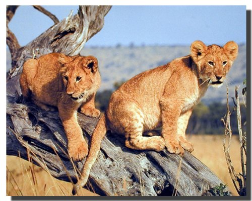 Lion Cubs Wildlife Animal Wall Decor Art Print Poster