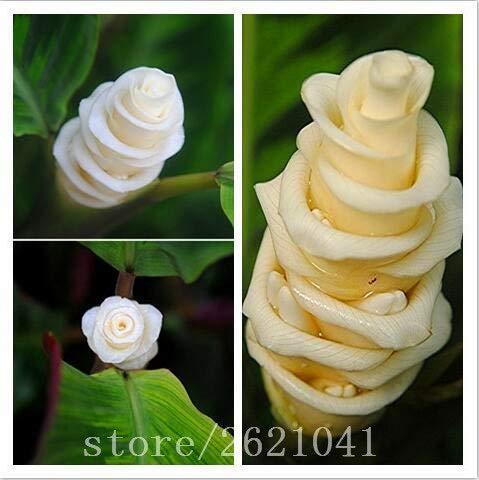 100PCS Calathea warscezii Lovely Cadeau pour Les Amoureux Bonsai Garden Rose FARMERLY Paquet de graines