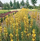 Asphodeline Lutea 100 Seeds