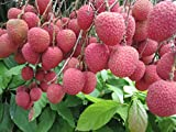1 Lychee plant litchi tropical fruit tree