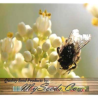 Lumos80 (50) Bee-bee Tree, Tetradium daniellii, Evodia daniellii Tree Seeds - Comb. S&H : Garden & Outdoor