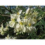Portal Cool 500: Moringa Oleifera Pterygosperma, Horseradish Oil Edible Ornamental Tree Seeds