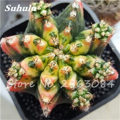 Gran venta! 50 PC semillas de cactus raras plantas suculentas mini jardín Plantar, comestibles Semillas belleza de la fruta de la planta vegeable hierbas 8: Amazon.es: Jardín
