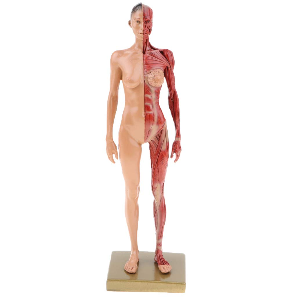 Baoblaze 11 Inch Female Anatomy Model Muscle And Skeleton Anatomical