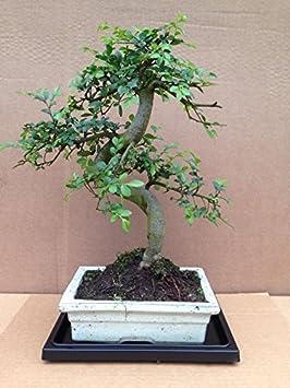 árbol de los bonsais con bandeja