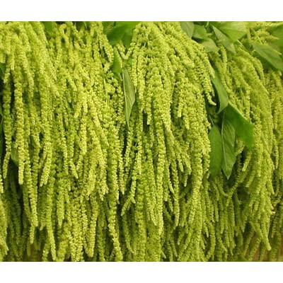 AMARANTHUS LOVE LIES BLEEDING GREEN Amaranthus Caudatus - 1, 000 Bulk Seeds : Garden & Outdoor