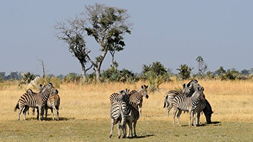 Home Comforts Peel-n-Stick Poster of Okavango Delta Group of Animals Zebras Botswana Poster 24x16 Adhesive Sticker Poster Print