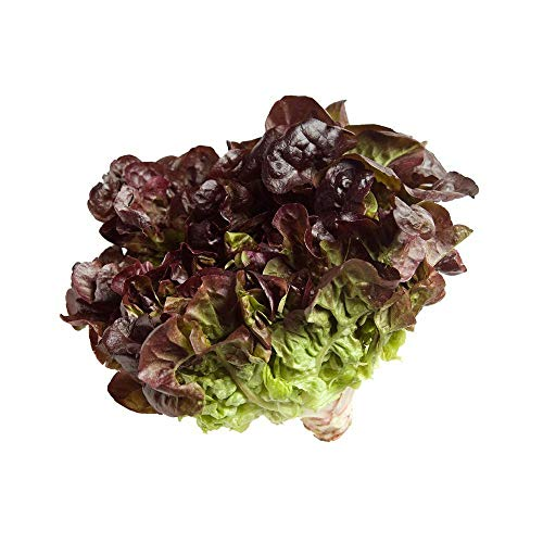 (Oak Leaf RED Lettuce (Oakleaf) Seeds Loose Leaf 2000 Bulk Crisp)
