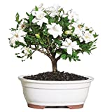 Gardenia Outdoor Bonsai Tree Tropical Blooms White Flowers 4 years Plant New