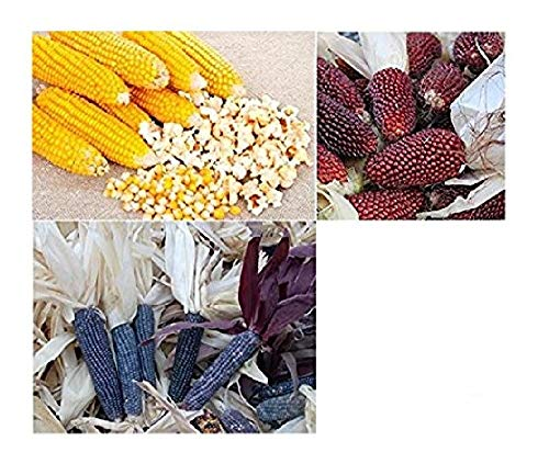 David's Garden Seeds Collection Set Popcorn RSL4345 (Multi) 3 Varieties 400 Seeds (Open Pollinated, Heirloom, (Popcorn Collection)