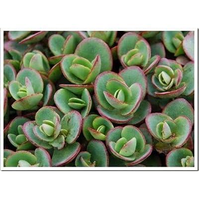 AchmadAnam - Live Plant - 10 Sedum 'Lime Zinger' Ground Cover - Deer Resistant Succulent : Garden & Outdoor