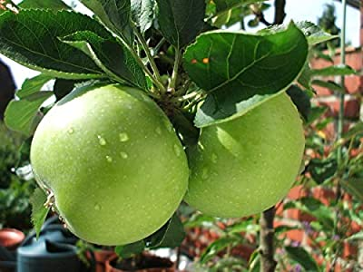 Granny Smith Apple Tree, Fruits are Medium to Large in Size, Crunchy Fresh, Soft and Juicy