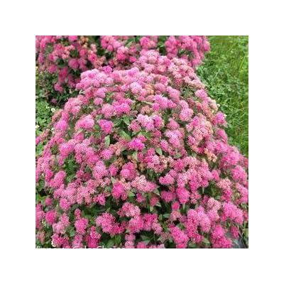 Spiraea-Double-Play-Pink - QT Pot (Shrub) : Garden & Outdoor