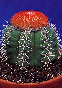Melocactus matanzanus Cuban Melon Cactus Cacti // Succulents - 40 Seeds TROPICA