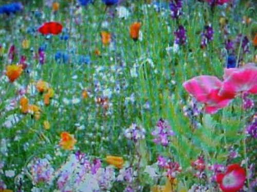 Love Grows Wildflower Seeds (1/32 POUND