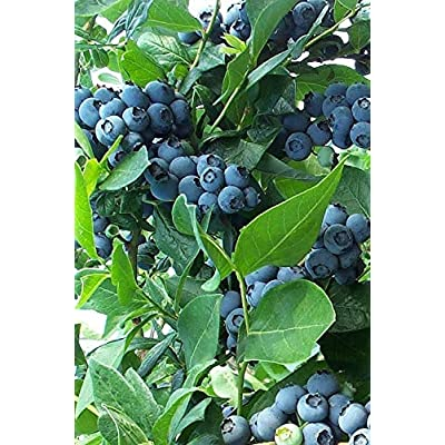 (1 Gallon) Bonita Blueberry Shrub, Early Variety, Good for Warmer climates, Firm Large Size Fruit. Light Blue Color, Great Flavor. : Garden & Outdoor