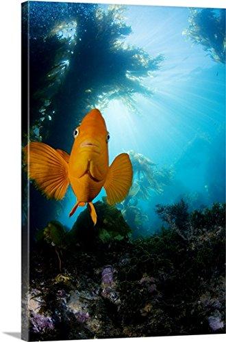Garibaldi Fish (Hypsypops Rubicundus) In Kelp Forest (Macrocystis Pyrifera) Gallery-Wrapped Canvas (Garibaldi Fish)