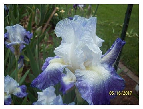 1 Clarence Reblooming Tall Bearded Iris Rhizome - Bearded Iris Flower