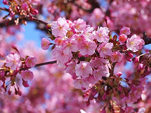 Home Comforts Peel-n-Stick Poster of Early Spring Cherry Pink Izu Peninsula Izu Kawazu Vivid Imagery Poster 24 x 16 Adhesive Sticker Poster Print