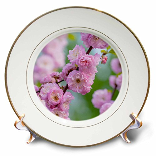 3dRose Alexis Photography - Flowers Prunus Triloba - Prunus triloba blossoms - also known as flowering plum - 8 inch Porcelain Plate (cp_272970_1)