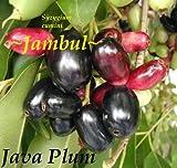 ~JAVA PLUM~ Syzygium cumini JAMBUL FRUIT TREE LIVE Starter Plant Potd Seedling