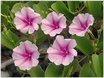 Ipomoea pes-capre ssp brasiliensis - bayhops - beach morning glory