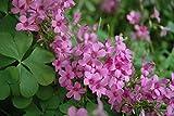 Oxalis Wood Sorrel 'Rosea'Pink flowers {crassipes} 1-Bulb Winter hardy Clover
