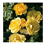 Tequila Gold Rose Bush | Reblooming Yellow Shrub Rose | Low Maintenance Easy to Grow | Potted