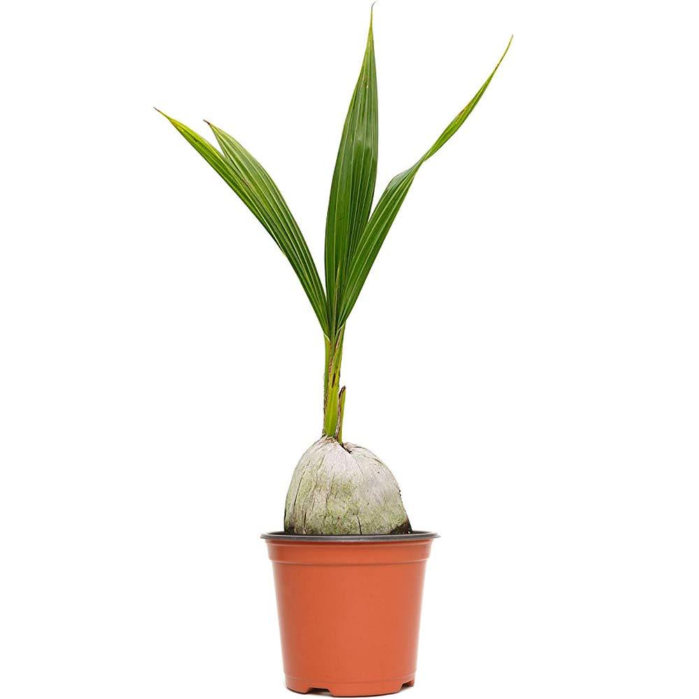AMERICAN PLANT EXCHANGE Coconut Palm Tree Exotic Indoor/Outdoor Tropical Specimen Live Plant, 6'' 1 Gallon Pot, Cocos Nucifera by AMERICAN PLANT EXCHANGE (Image #1)
