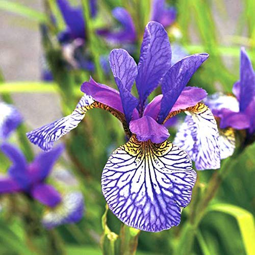 Elegant Purple&Blue Orchid Bearded Dutch Iris Roots/Bulbs Garden Plants Multiply Rapidly Home Balcony Bonsai (8 Bulbs)