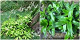 Callisia fragrans Live Plants 7 inches #AST10