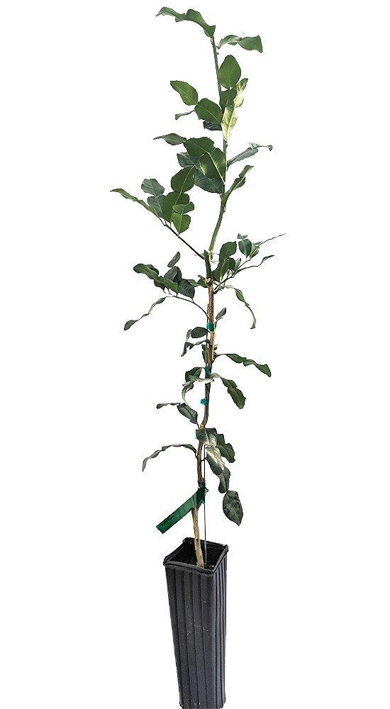 Kaffir Lime Tree-Fruit Bearing Size-Indoors/Out-NO Ship TX,FL,AZ,CA,LA,HI-5'' Pot by Hirt's Gardens (Image #2)