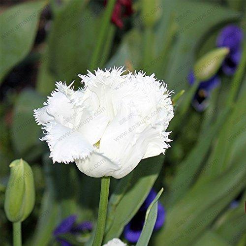 Tulip Tassel - 100Pcs/Bag Bonsai Tulip Seeds Rare White Tassels Tulip Flower Seeds Home Garden Flower Potted Plants Seeds