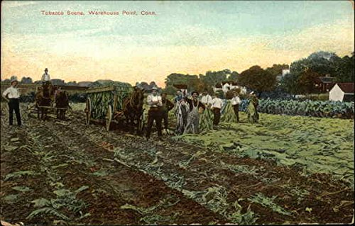 Horse Workers - Workers and Horses in Tobacco Scene Warehouse Point, Connecticut Original Vintage Postcard