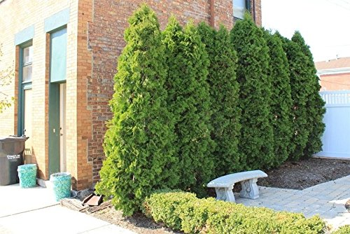 10 EMERALD GREEN Arborvitae (Thuja occidentalis) by bigv62