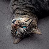 LAMINATED 24x24 inches POSTER: Cat Blue Eye Tiger Portrait Animal Eyes Pet Mieze Face Blue Domestic Cat Cute Lying Relaxed Nose Ground Hair Beige Black View Camera Contrast Color Peaceful