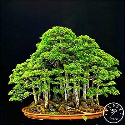 20Pcs/Bag Juniper Bonsai Tree Garden Potted Flowers Office Bonsai purify The air Absorb Harmful Gases,#JGHUID: Garden & Outdoor