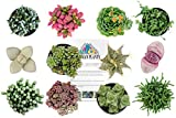 Altman Plants Succulents Fairy Garden Collection 12 Pack, 2.5''