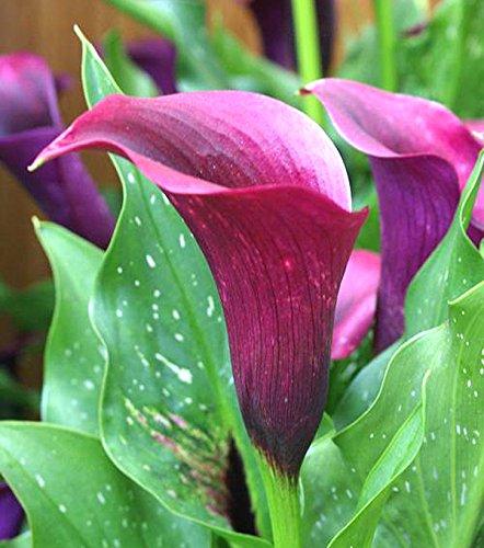grow calla lilies in pots
