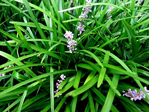 25 Monkey Grass Plants, Liriope, Bare Root Plants, Evergreen Border Plants