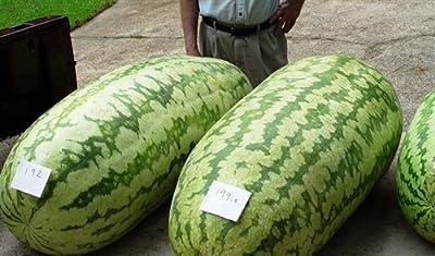 Watermelon Seeds - CAROLINA CROSS GIANT - HUGE 200 LB. - GMO FREE - 10 Seeds