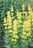 "Gentiana Lutea ""Great Yellow Gentian"" 50 x Fresh Seeds"