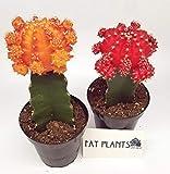 Fat Plants San Diego Large Grafted Moon Cactus Succulent Plants (2, Multi)