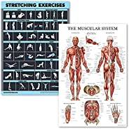 2 Pack Stretching Exercises and Muscular System Anatomy Poster Set - Laminated 2 Chart Set - Stretching Workou