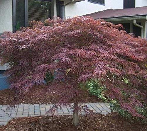 Inaba Shidare Laceleaf Weeping Japanese Maple Tree - Live Plant - Trade Gallon Pot by New Life Nursery & Garden (Image #3)