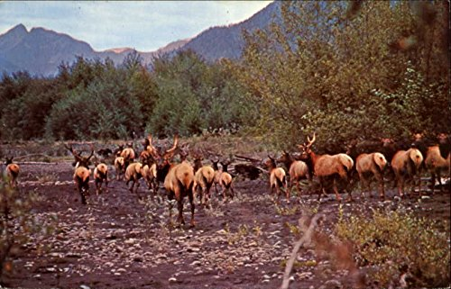 Roosevelt Elk Other Animals Original Vintage Postcard