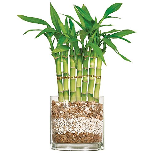 BRUSSEL'S BONSAI Brussel's Fence Bamboo - Small - (Indoor)