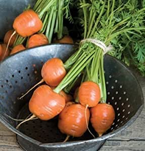 David's Garden Seeds Carrot Atlas D3822 (Orange) 500 Open Pollinated Seeds