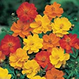 1000 Cosmos sulphureus Seeds - Bright Lights Mix - Yellow/Orange/Red