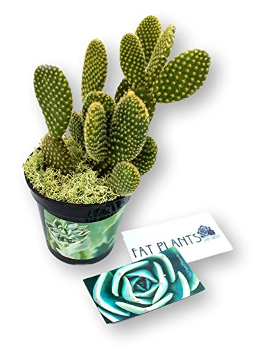 Fat Plants San Diego Microdasys Opuntia Succulent Plant - Small